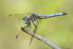 Blue Dasher VI Stock Image