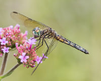 Blue Dasher VIII Royalty Free Stock Photography