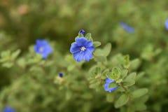 Free Blue Daze Evolvulus Stock Images - 158963044