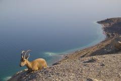 Blue Dead Sea with Nubain ibex stock photos
