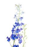 Blue delphinium Stock Images