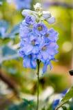 Blue delphinium flower stock image