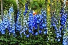 Blue delphinium flower background Royalty Free Stock Photos