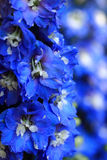 Blue delphinium flower background Stock Image