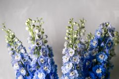 Blue delphinium flower with green leaves on light gray background Royalty Free Stock Image