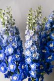 Blue delphinium flower with green leaves on light gray background Stock Photos