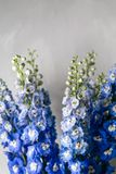 Blue delphinium flower with green leaves on light gray background Stock Images