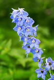 Blue delphinium flower Royalty Free Stock Images
