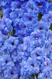 Blue delphinium flowers Royalty Free Stock Photography