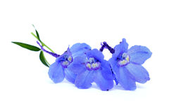 Blue delphinium Royalty Free Stock Image
