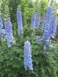 Blue delphiniums in a Cotswold garden. 2017 Stock Photos