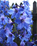 Blue Delphinum Royalty Free Stock Photo