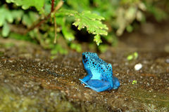 Blue dendrobate. Blue with blue spots frog close-up Stock Image