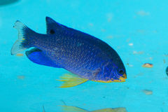 Blue Devil Damselfish in Aquarium Royalty Free Stock Images