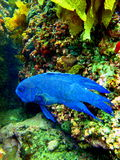 Blue devil fish Royalty Free Stock Photos