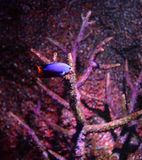 Blue devil fish Stock Image