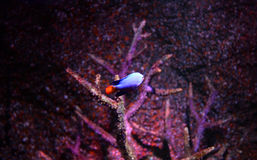 Blue devil fish Royalty Free Stock Image