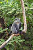 A blue diademed monkey on a branch in Lake Manyara Royalty Free Stock Images