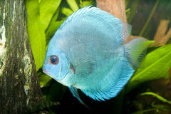 Blue Diamond Discus in Aquarium Royalty Free Stock Images
