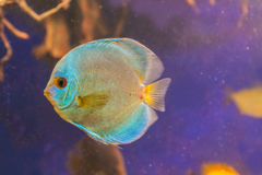 Blue Diamond Discus of different colors in the aquarium Royalty Free Stock Photos