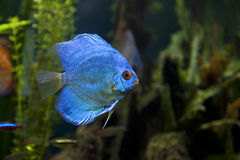 Blue Diamond Discus Fish Stock Photos