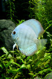 Blue Diamond Discus Fish. A portrait of a Blue Diamond Discus Fish- Symphysodon Aequifasciatus in a planted tropical freshwater aquarium Royalty Free Stock Photos