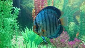 Blue diamond discus fish Royalty Free Stock Photography