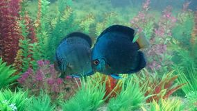 Blue diamond discus pair Royalty Free Stock Photos