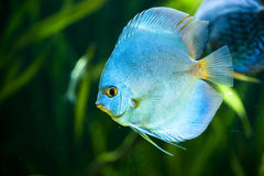 Blue Diamond Discus (Symphysodon aequifasciatus) Stock Photo