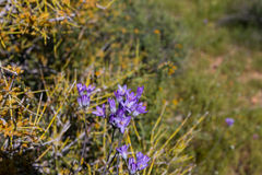 Blue dicks (Dichelostemma capitatum). Stock Photography