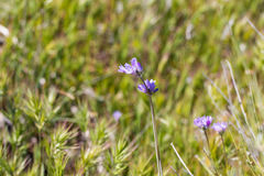 Blue dicks (Dichelostemma capitatum). Royalty Free Stock Photography