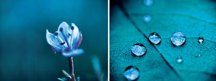 Blue diptych. Diptych of blue morning dew drops and blue flower royalty free stock photo