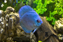 Blue discus Royalty Free Stock Images