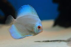 Blue discus Royalty Free Stock Photos