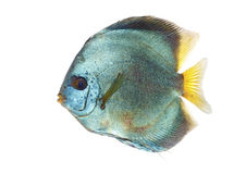 Blue Discus Stock Images