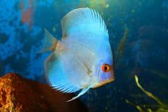 Blue discus Stock Image