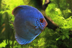 Blue discus Royalty Free Stock Image