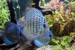 Blue Discus Aquarium Fish. The Blue Discus Fish - Symphysodon Aequifasciatus in a tropical freshwater planted aquarium Stock Photo