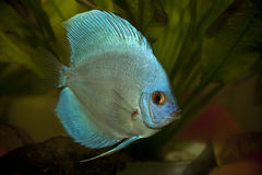 Free Blue Discus Fish Royalty Free Stock Images - 12944949