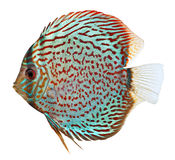 Blue Discus fish stock image