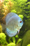 Blue Discus Fish. A portrait of a Blue Discus Fish - Symphysodon Aequifasciatus in a tropical freshwater aquarium Stock Images