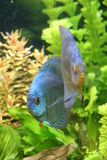 Blue Discus Fish. A portrait of a Blue Discus Fish - Symphysodon Aequifasciatus in a tropical freshwater aquarium Stock Photo