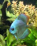 Blue Discus Fish. A portrait of a Blue Discus Fish - Symphysodon Aequifasciatus in a tropical freshwater aquarium Royalty Free Stock Photography