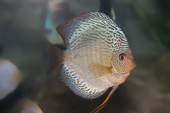 Blue discus fish Royalty Free Stock Photo