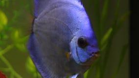 Blue discus fish in aquarium Royalty Free Stock Image