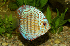 Blue discus fish Stock Photography