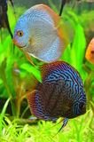 Blue discus fish pair Royalty Free Stock Photos