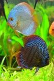 Blue discus fish pair