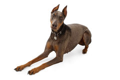 Blue Doberman With Alopecia Stock Image