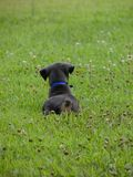 Blue Doberman Puppy. In the grass Royalty Free Stock Photos